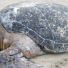 Stranded Sea Turtle Tended By Oregon Aquarium