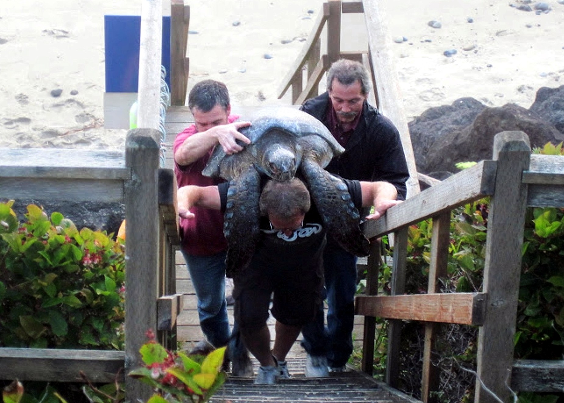 Jim Rice and Moolack Shores Staff Members Move Turtle-by Nadine Fuller